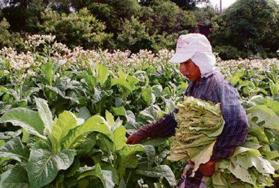 TABACO: ESTE VIERNES PAGARÁN MÁS DE 111 MILLONES A TABACALEROS MISIONEROS