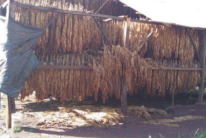 SAN PEDRO: TEMPORAL AFECTÓ PRODUCCIÓN DE TABACO EN SIETE ESTRELLAS